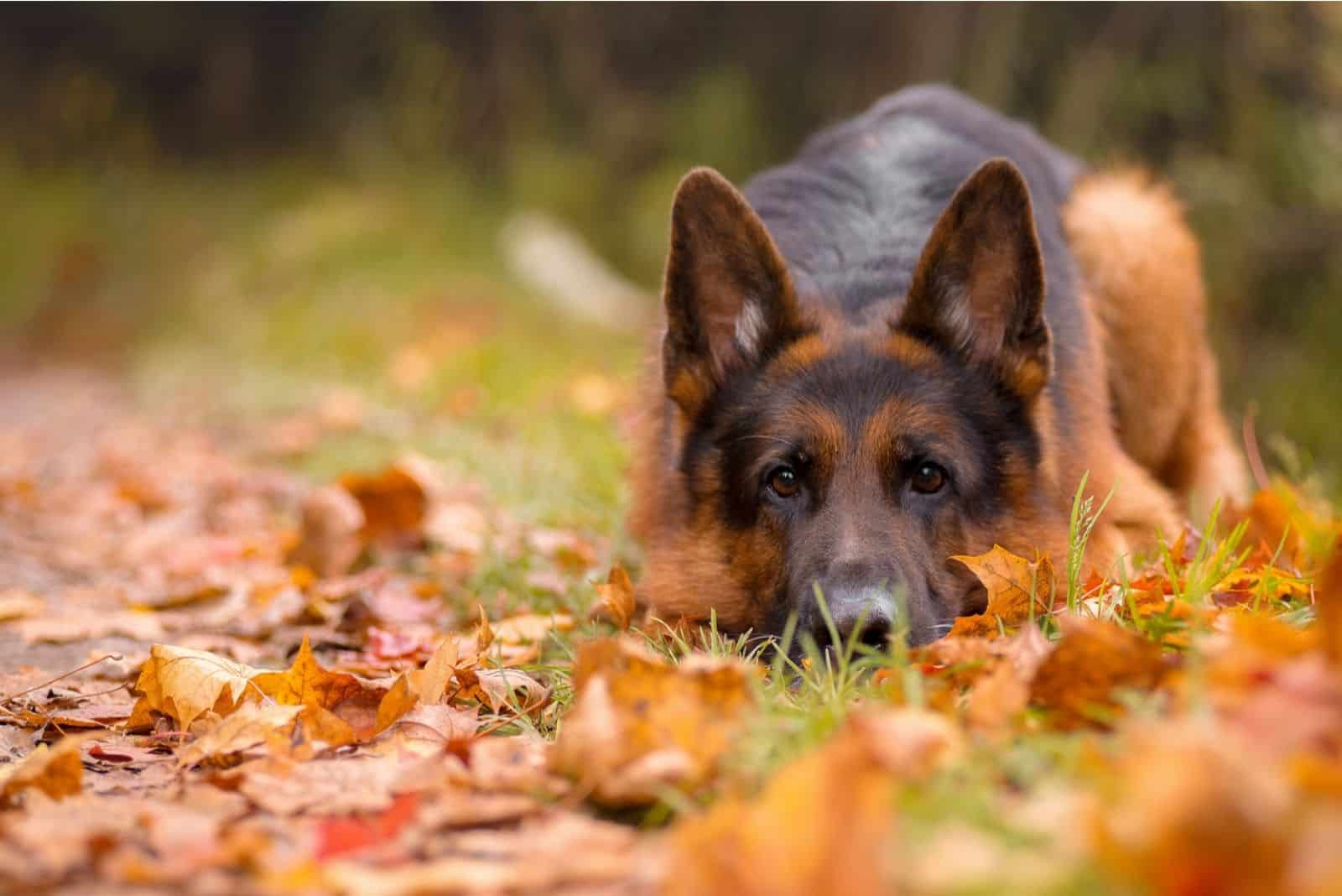 sad German shepherd lies in the path of the leaves in autumn forest