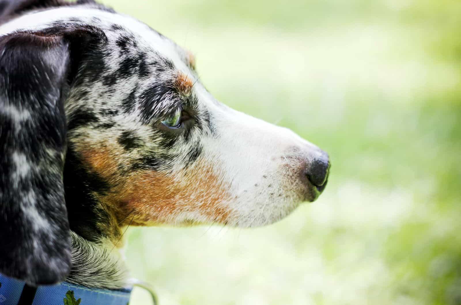 side profile of dapple dachshund