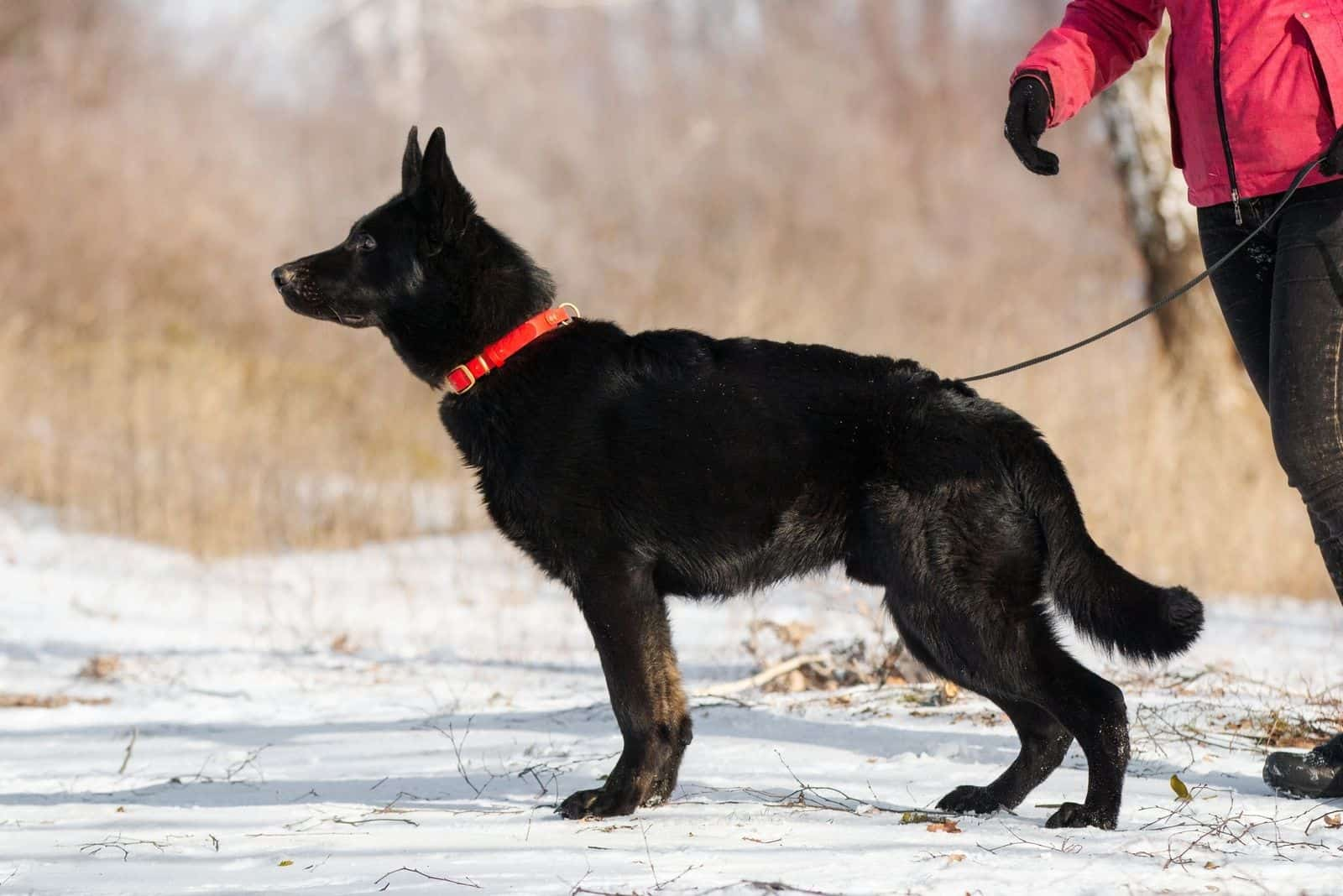 sideview of a black german shepherd on a leash held by the owner in the snow
