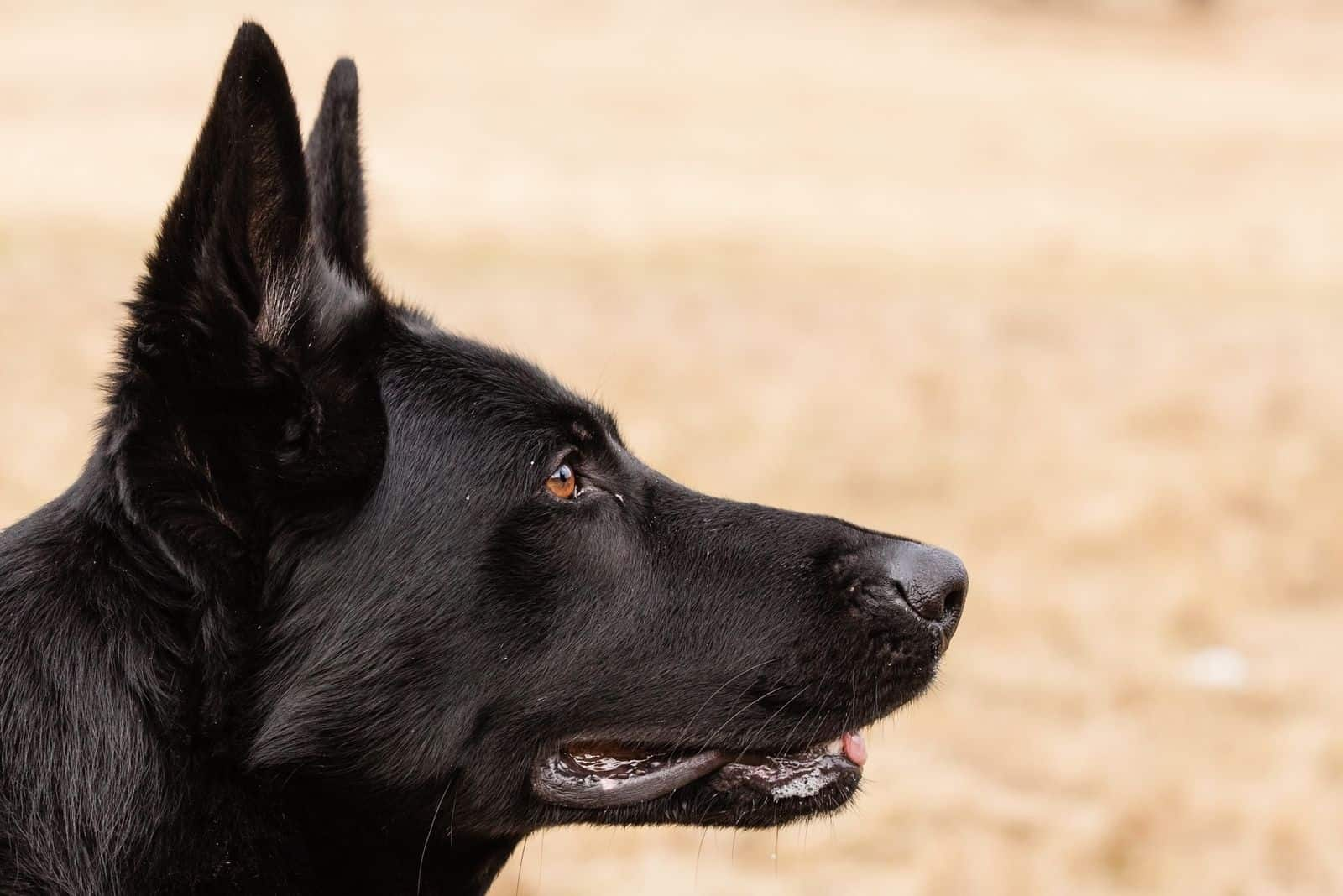 sideview of a purebreed black german shepherd in focus photography