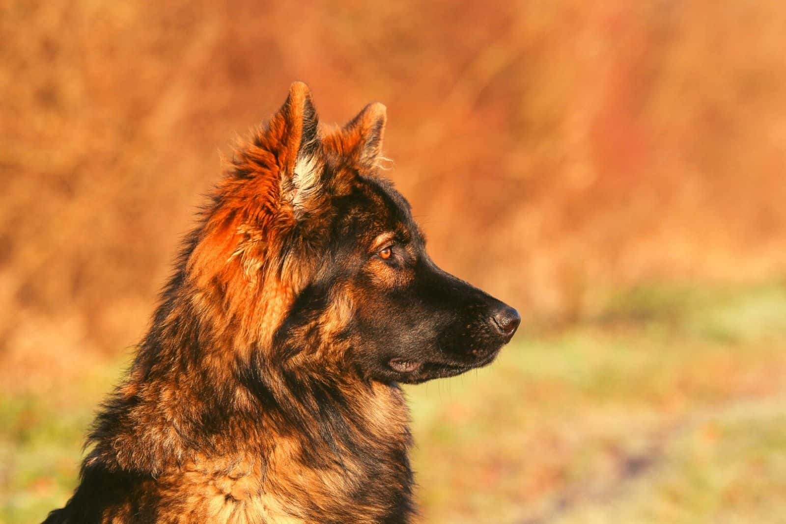 sideview of a sable gsd standing outdoors in focus