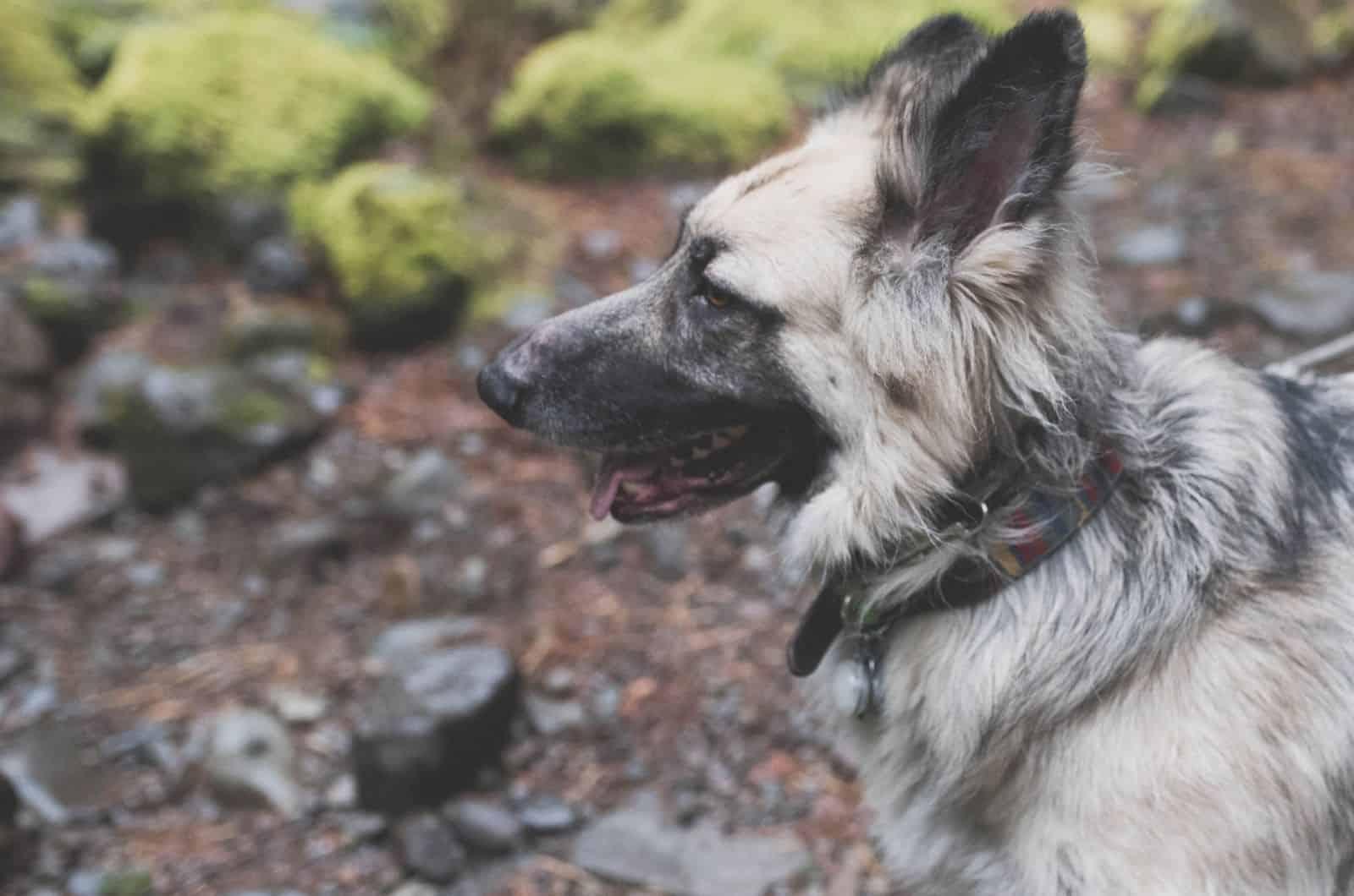 silver german shepherd dog profile