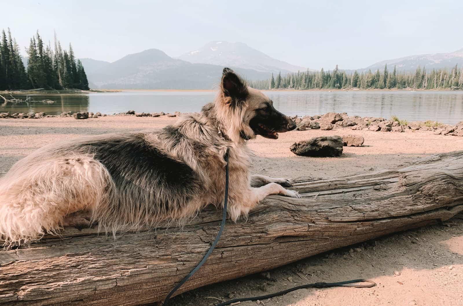silver german shepherd on a lake