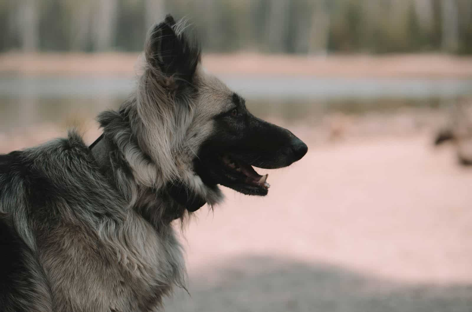 silver german shepherd side profile