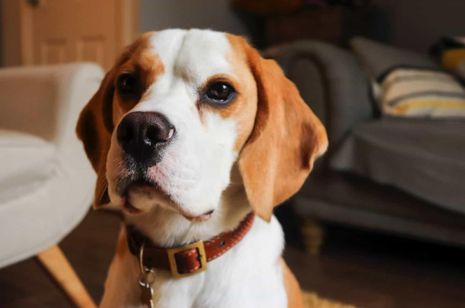 small basset hound puppy