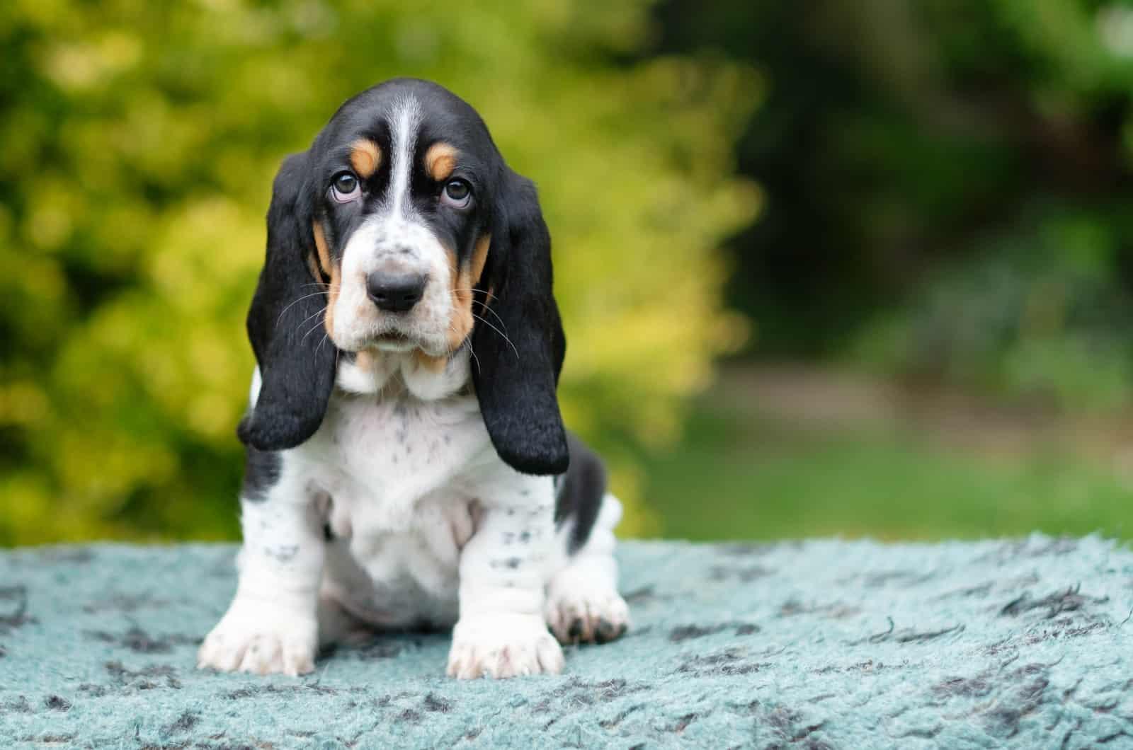 small busset hound puppy