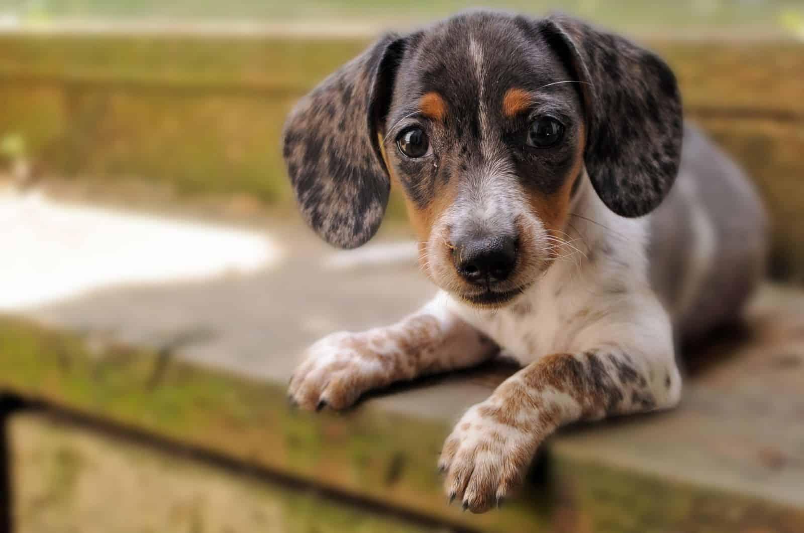 small dapple dachshund