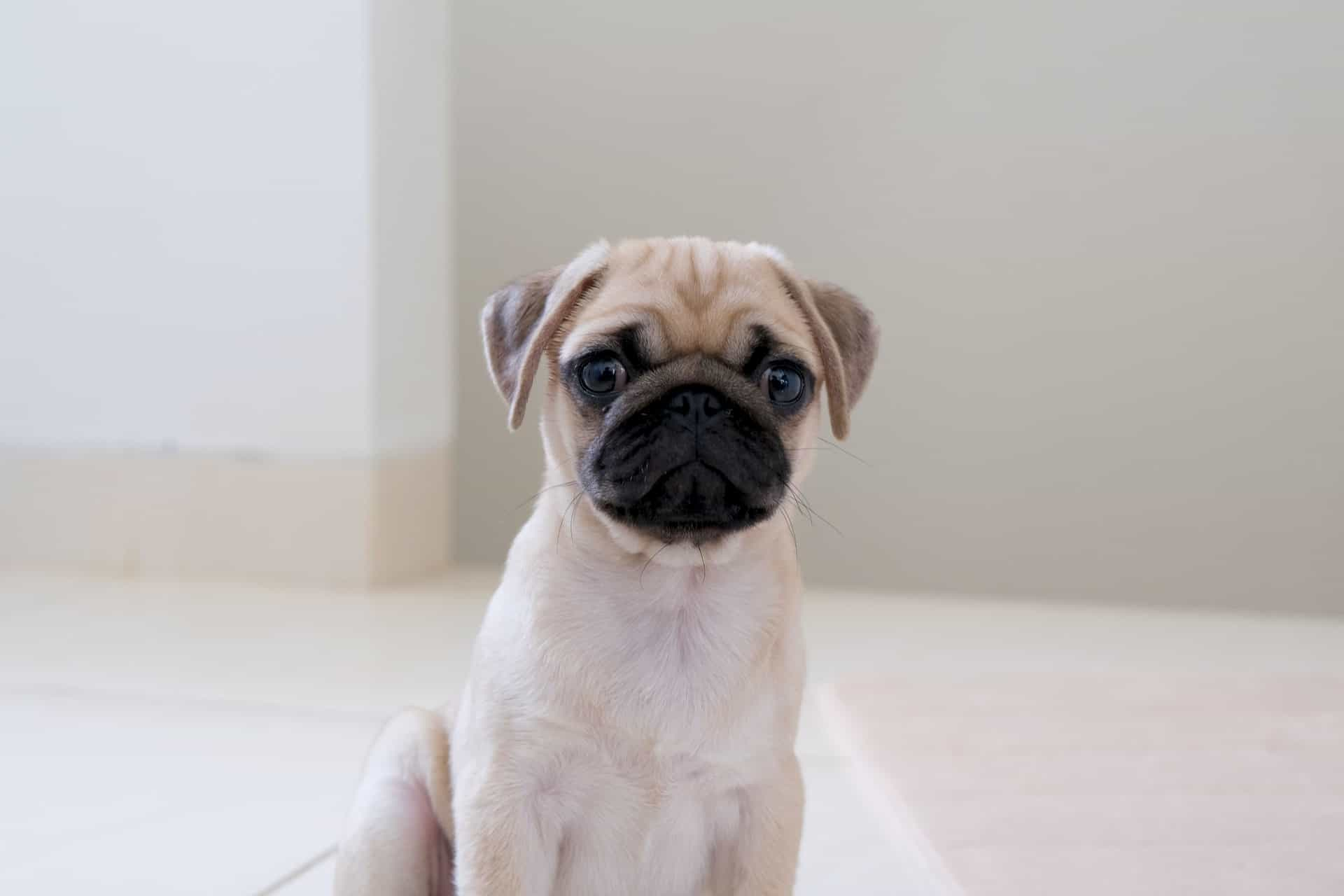 small fawn pug puppy