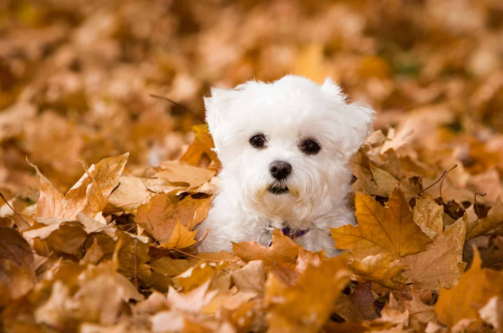 small maltese puppy in autumn leaves