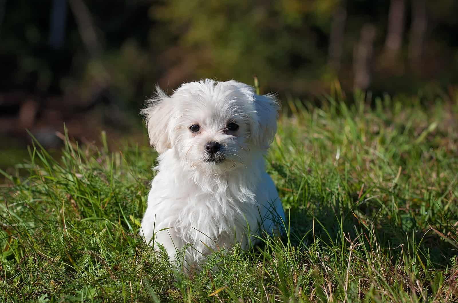 small maltese standing in grass