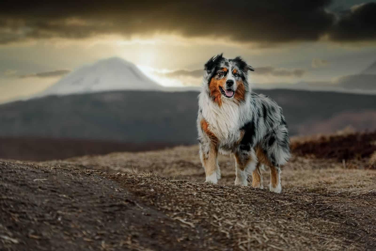 standard australian shepherd dog standing on the background of the sunset in autumn