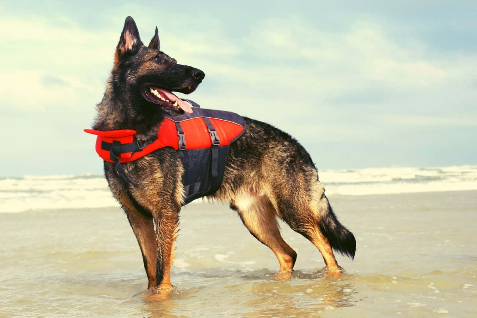 strong german shepherd with sable color standing in the ocean