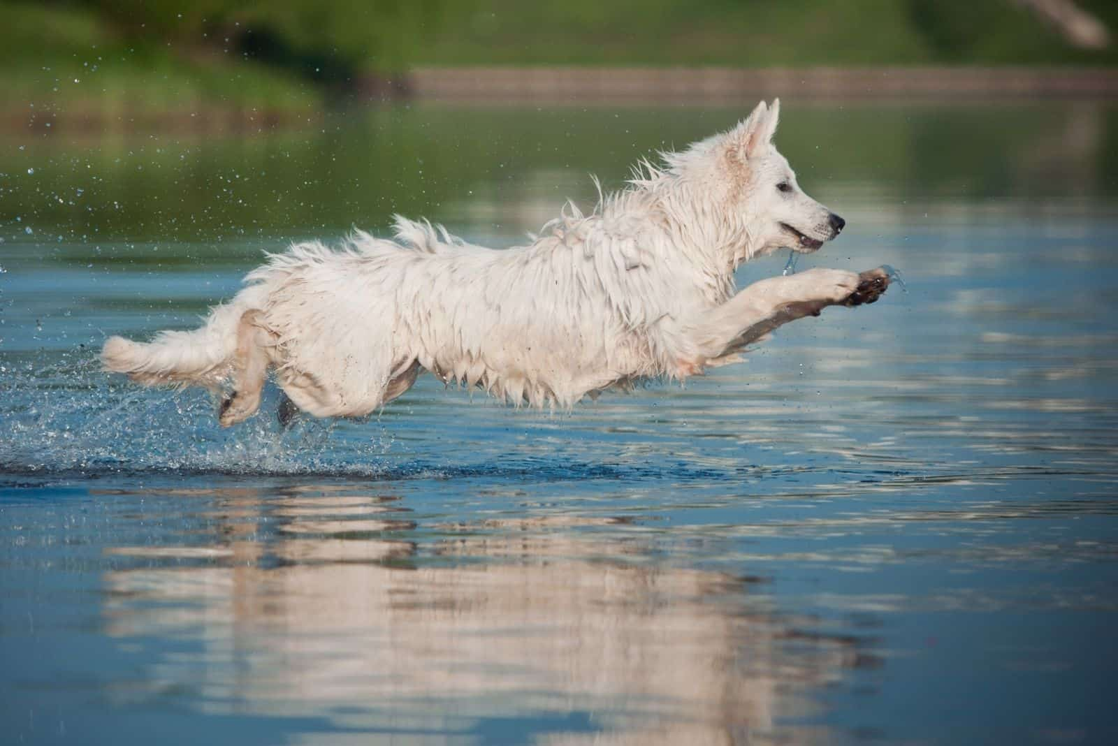 strong white german shepherd dog jumping over a body of water