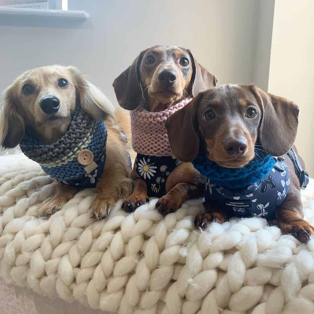 three dachshund puppies dressed in sweaters