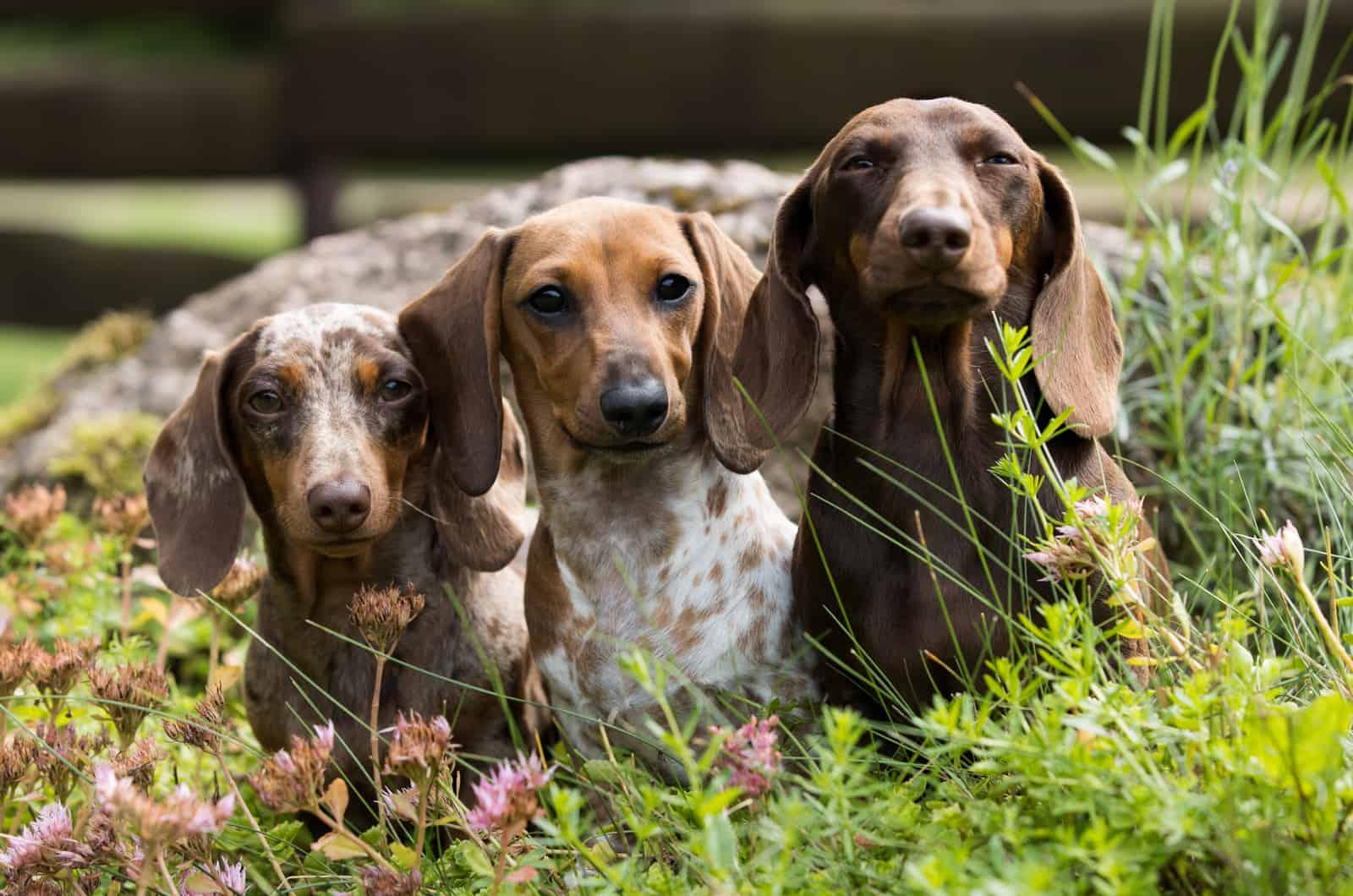 three dapple dachshund dogs