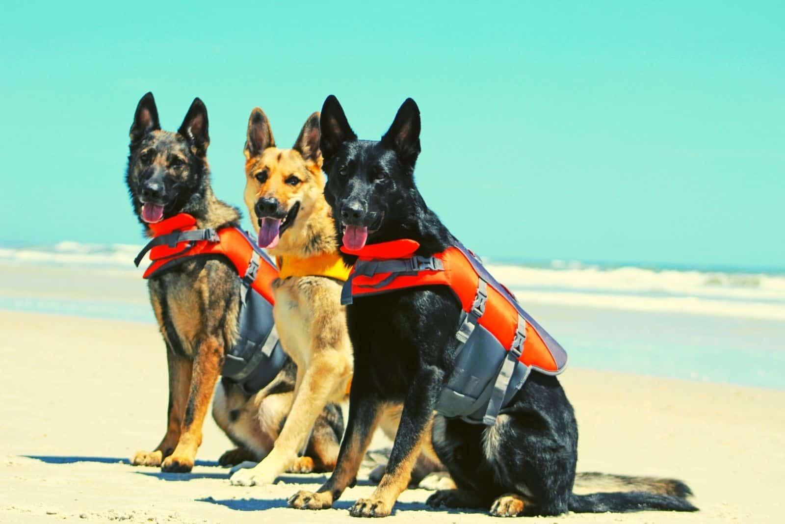 three german shepherd dogs standing in the beach looking at their side