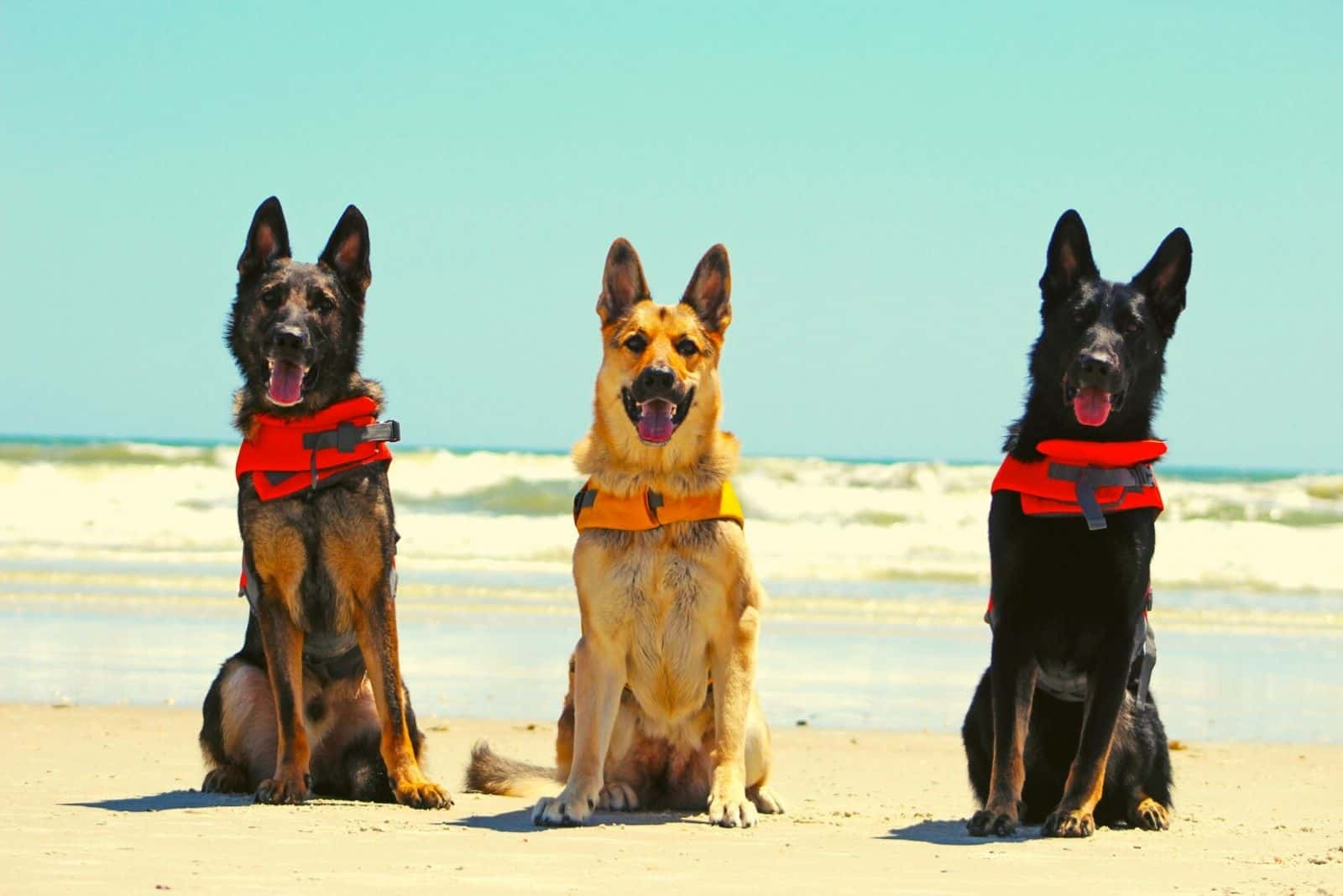 three german shepherds with different color standing in the beach