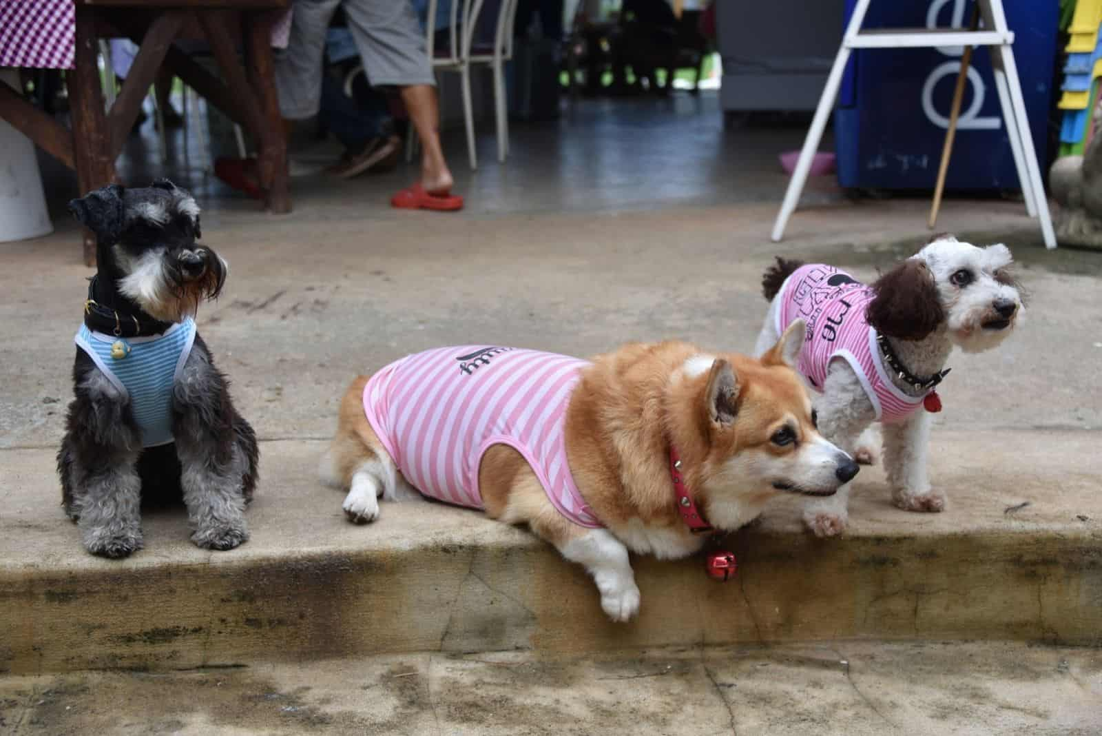 three hungry dog waiting corgi , black Schnauzer and poodle