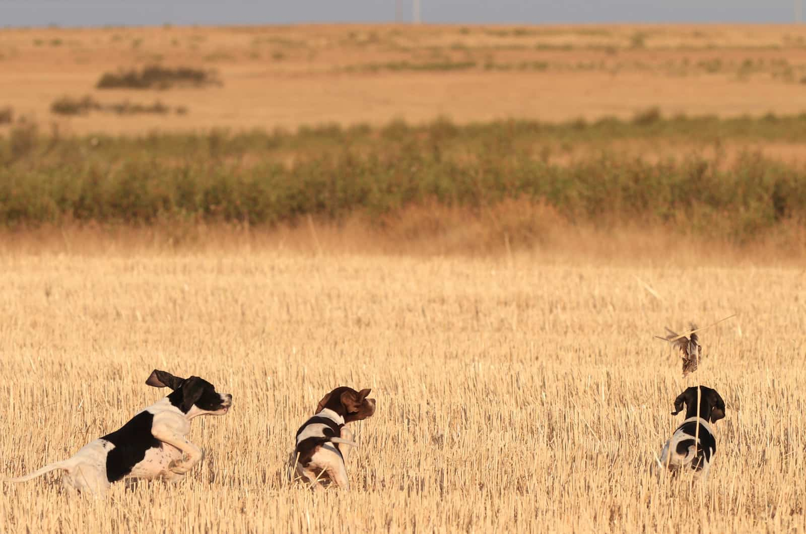 three hunting dogs in a field