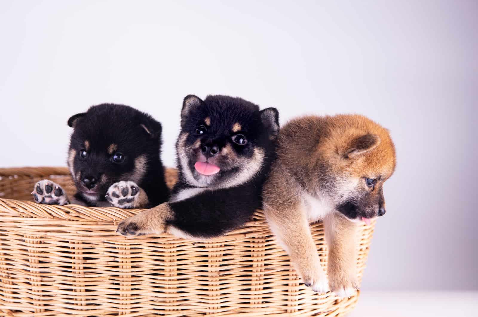 three shiba inu puppies in a basket