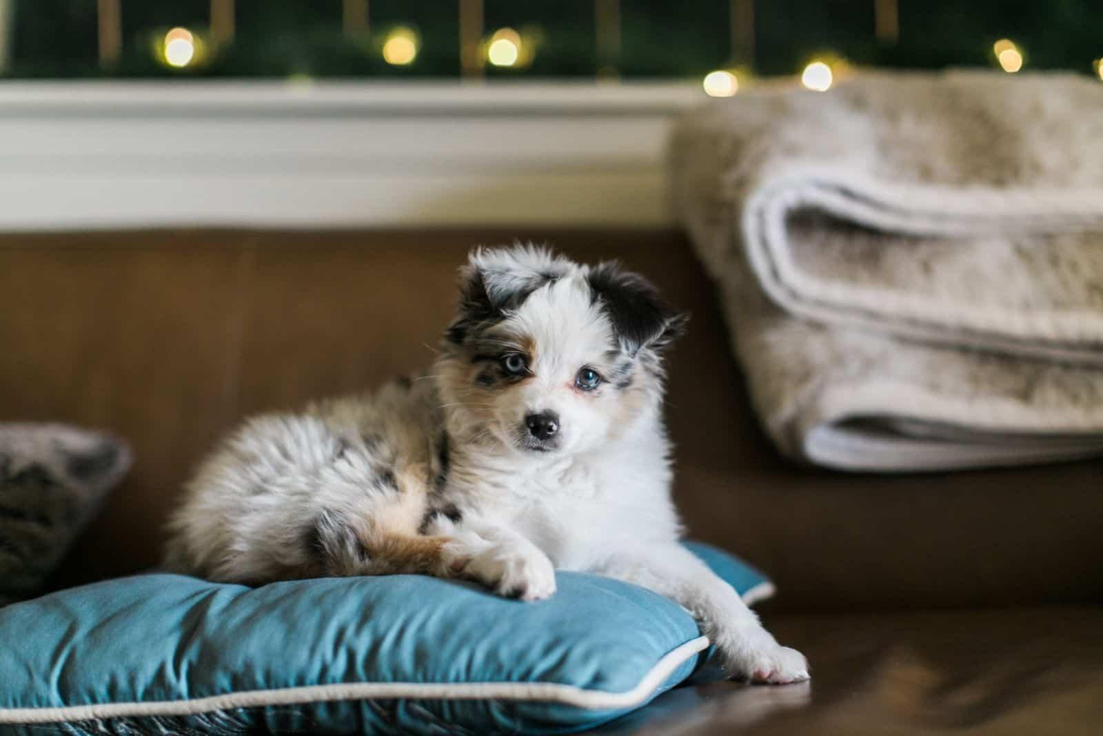 toy merle aussie shepherd dog lying on a blue pillow