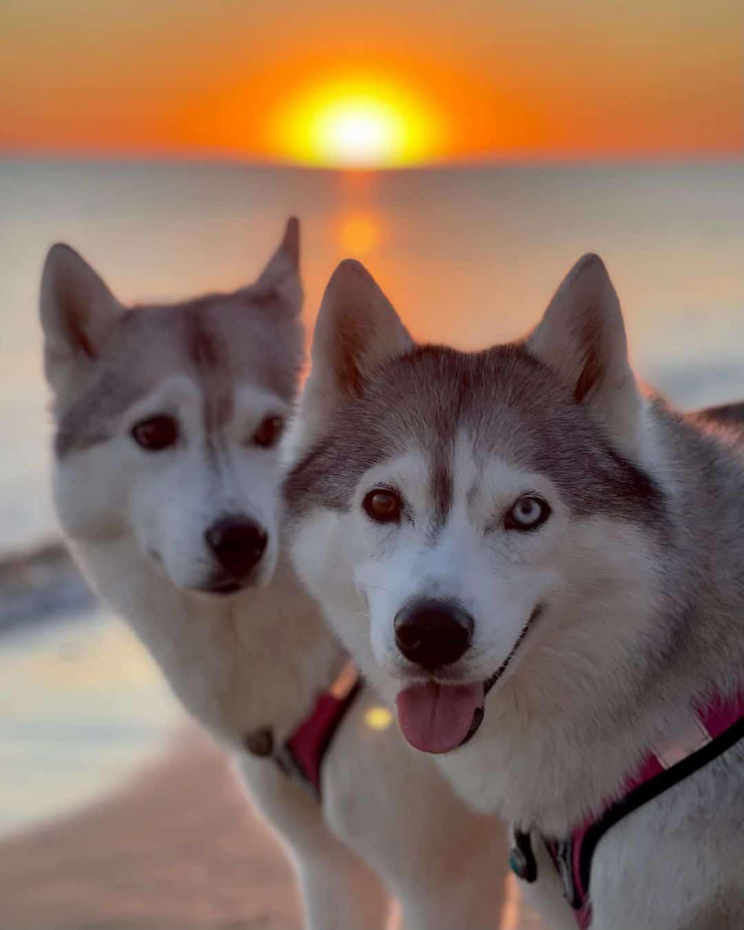 two beautiful husky dogs on the beach