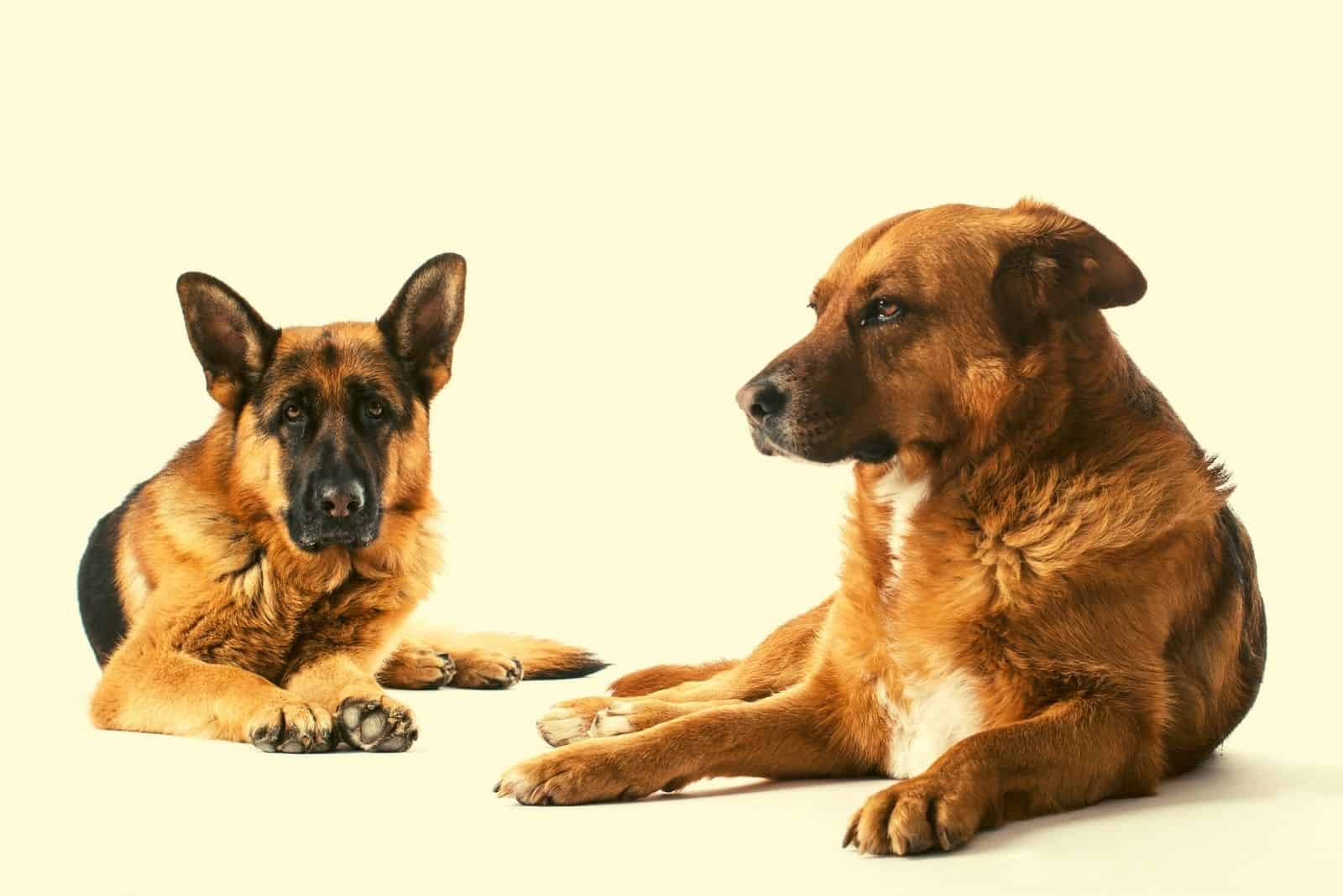 two german shepherds lying on the floor in white background