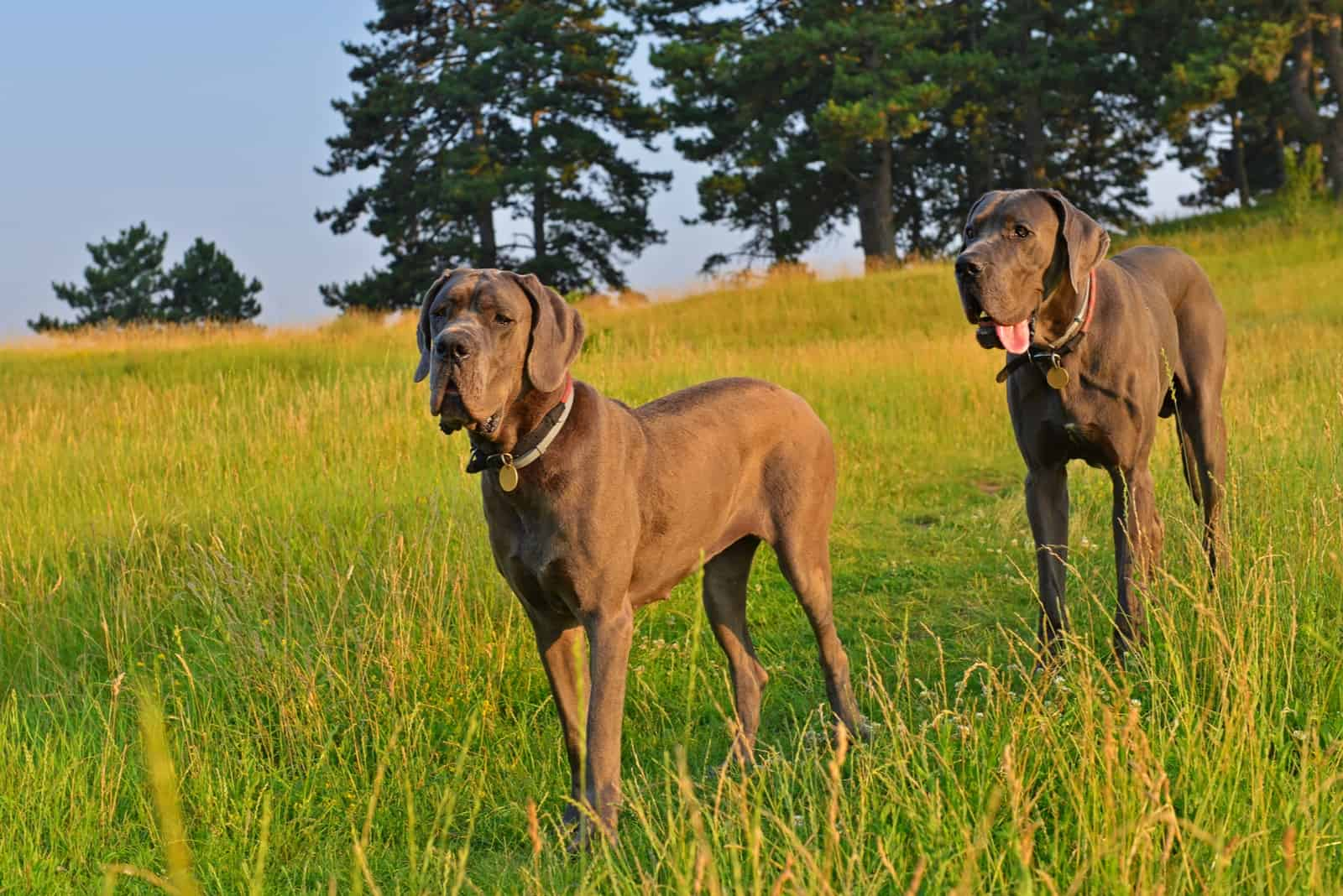 two great dane dogs in nature