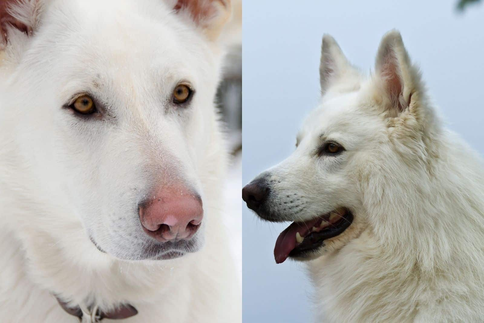 two images of dogs GSD in one picture both white in color