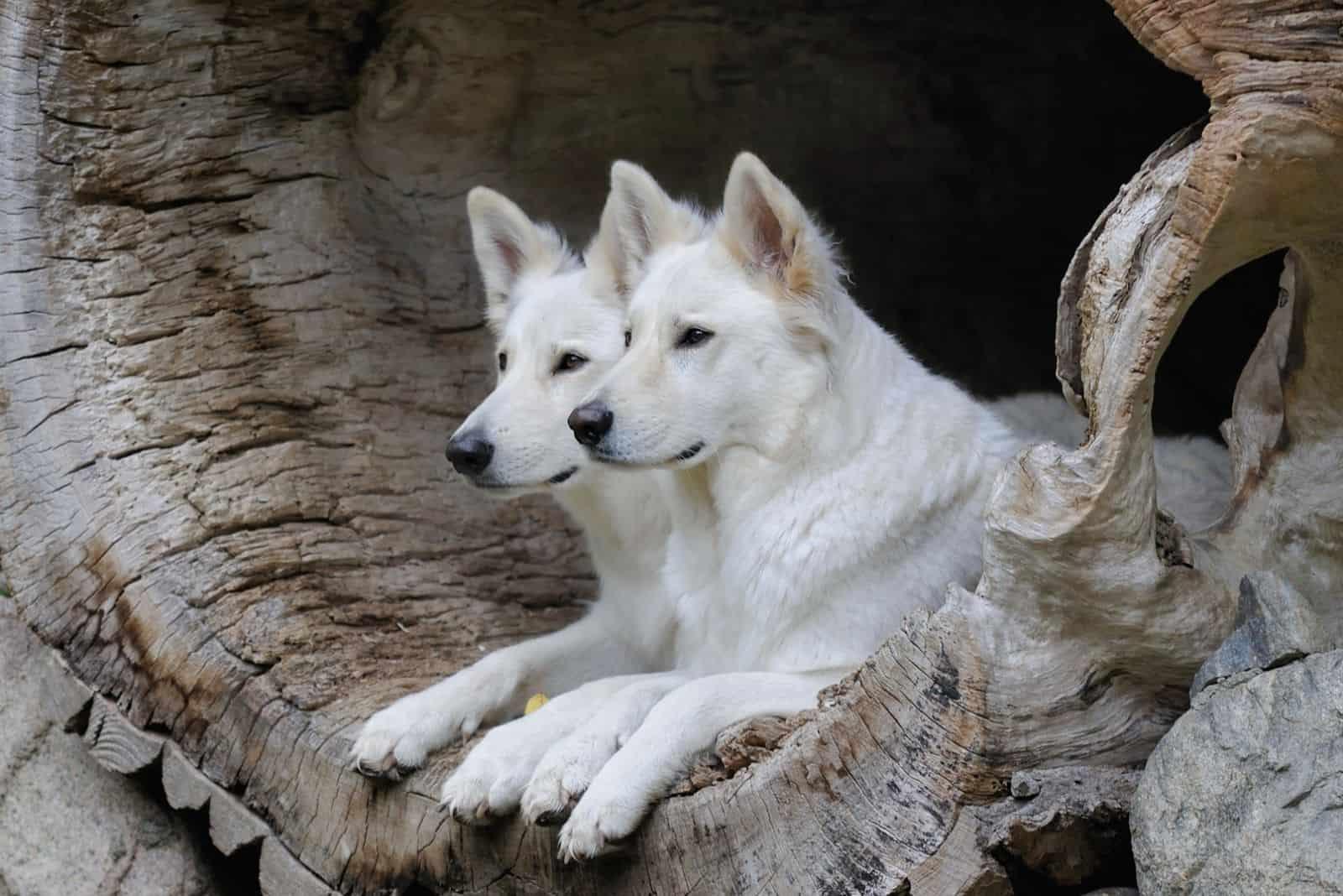 two white german shepherd lying inside the large dead log outdoors
