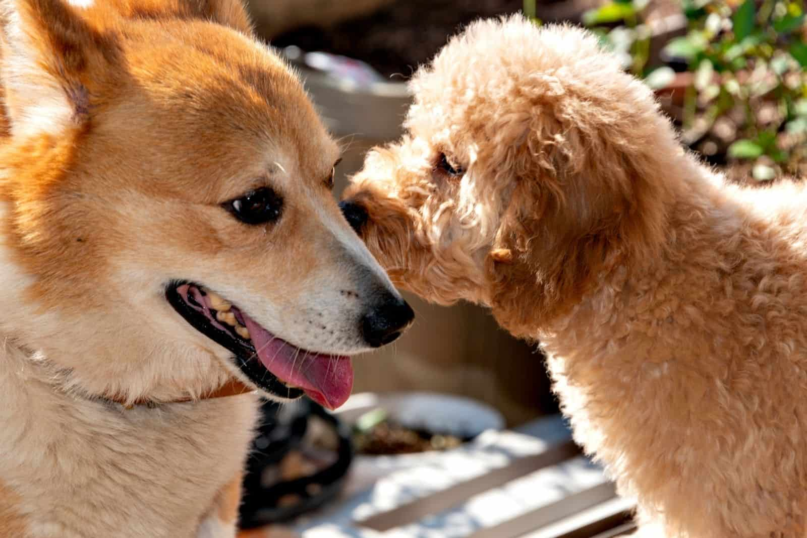 welsh corgi kissed by a toy poodle in their first contact in the garden