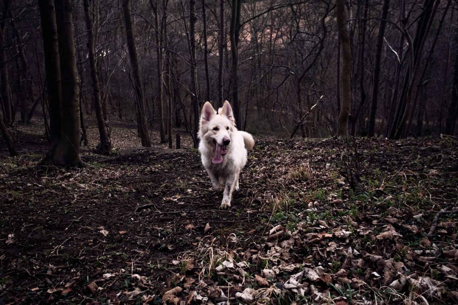 white alsatian running the woodland scene
