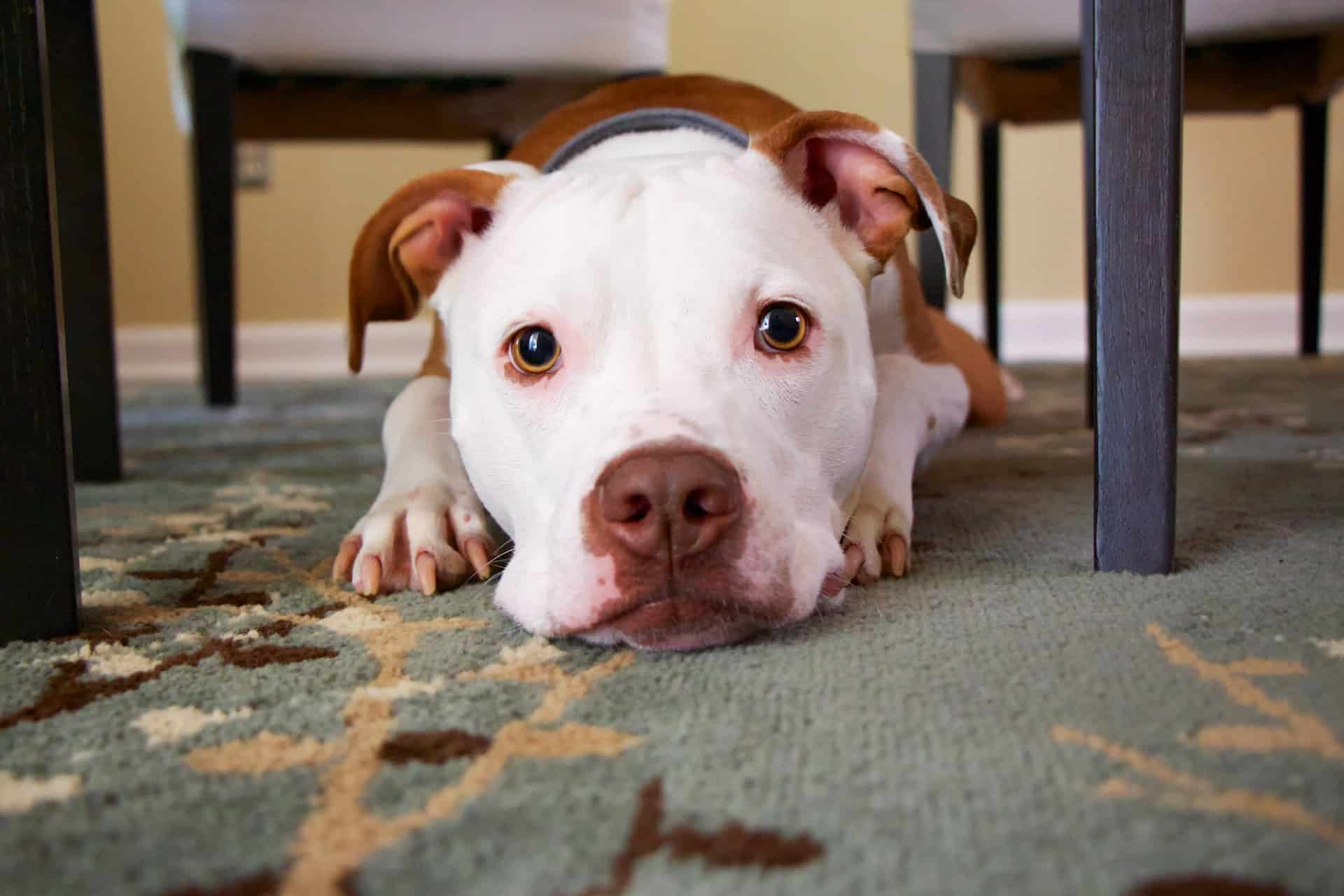 white and brown pitbull sitting on the floor