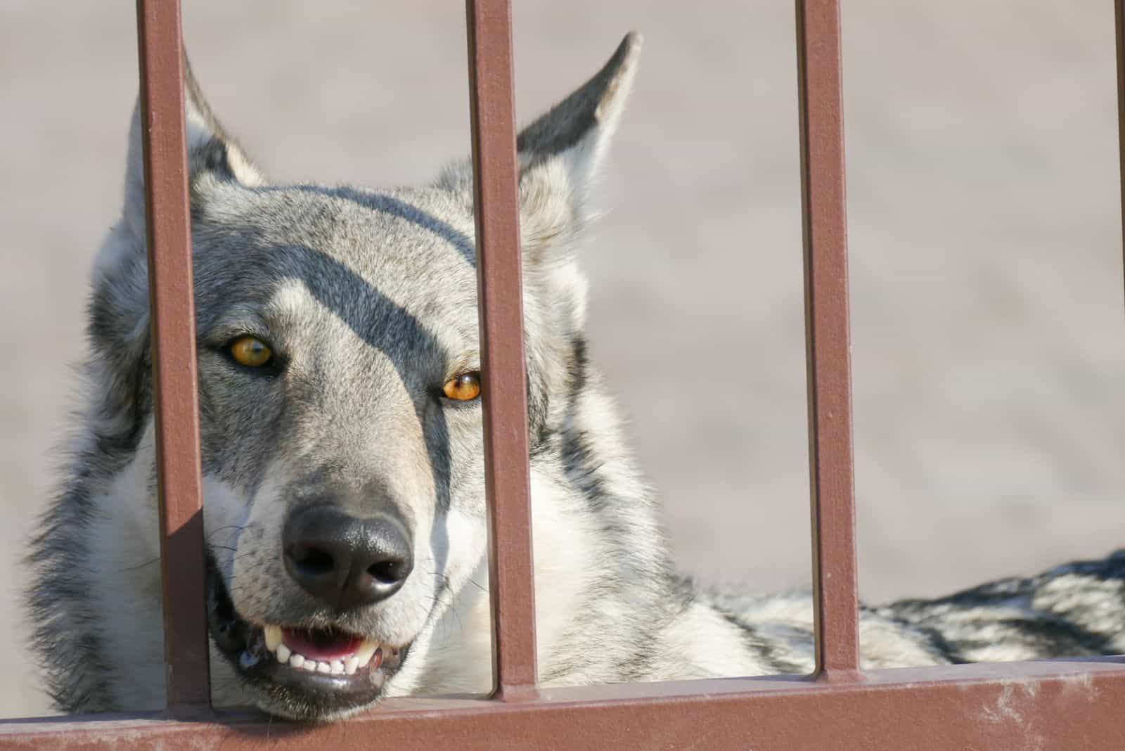 white and gray husky mix with german shepherd dog behind bars
