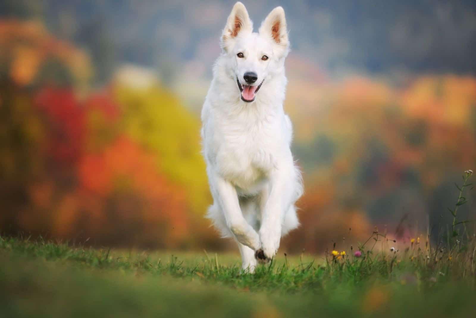 white german sheepdog running near the autum garden