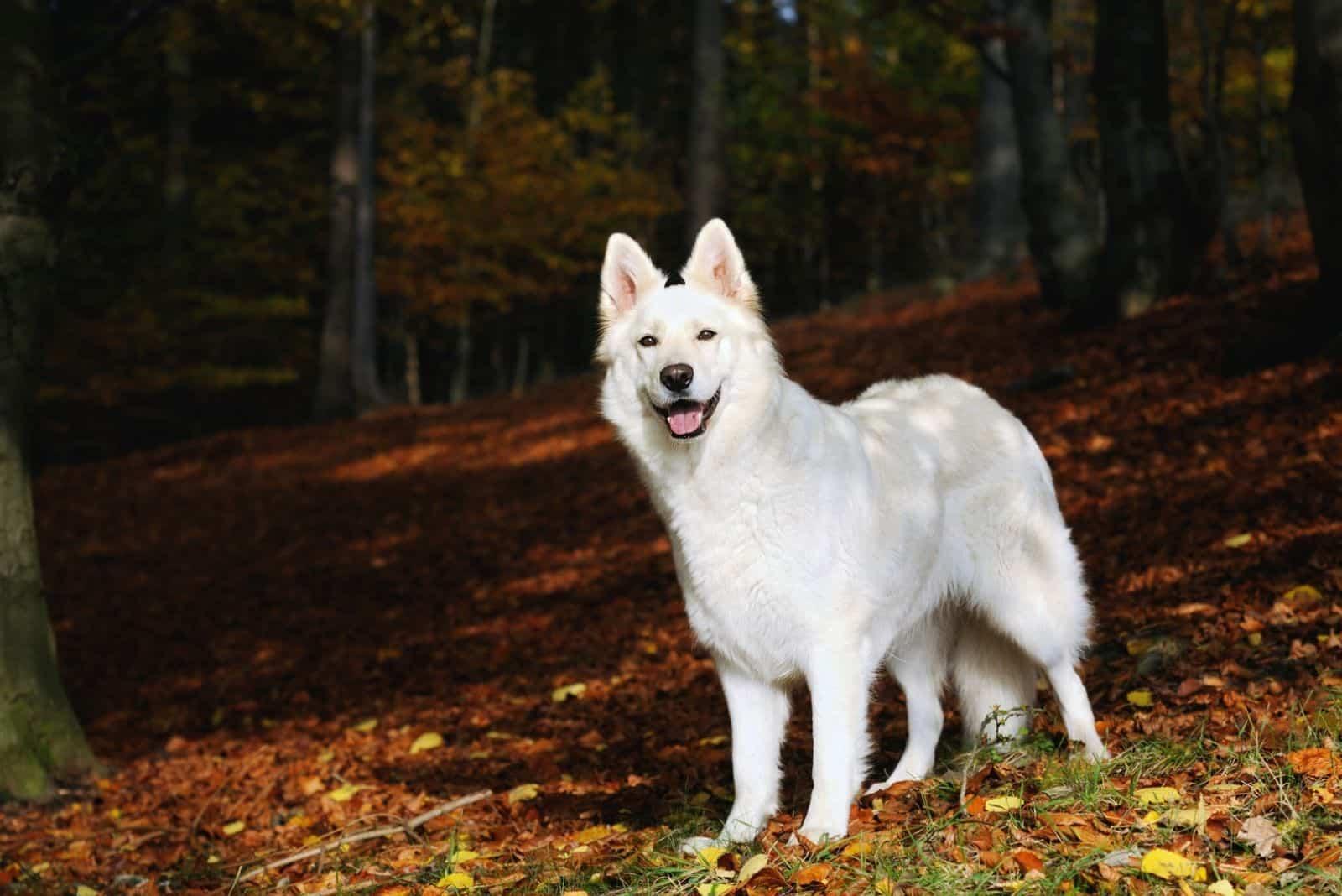 white german shepherd dog standing among autumn leaves
