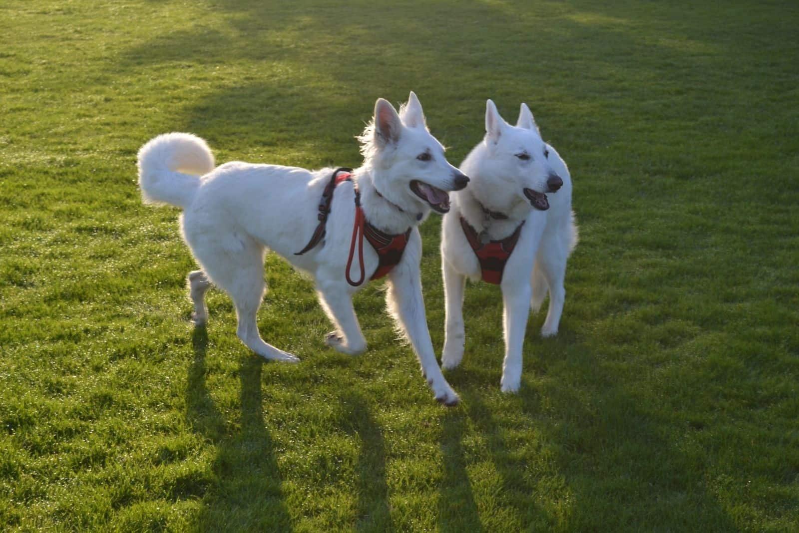 white german shepherd dogs in the playground