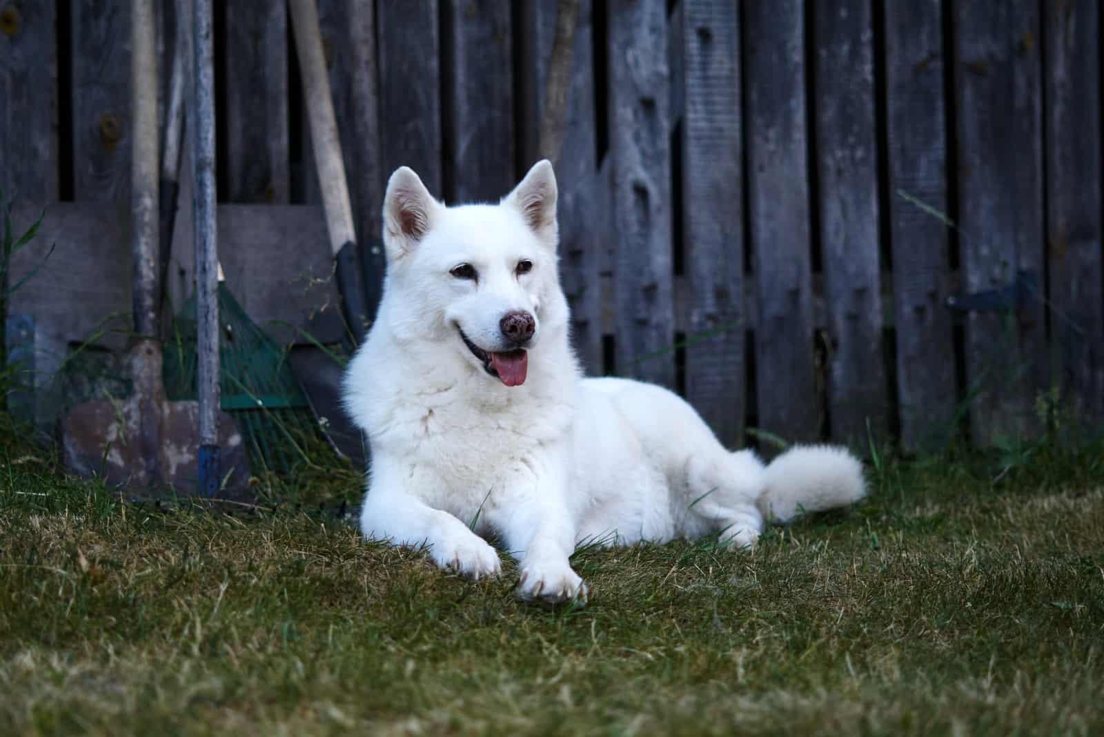 white husky dog sits and looks around