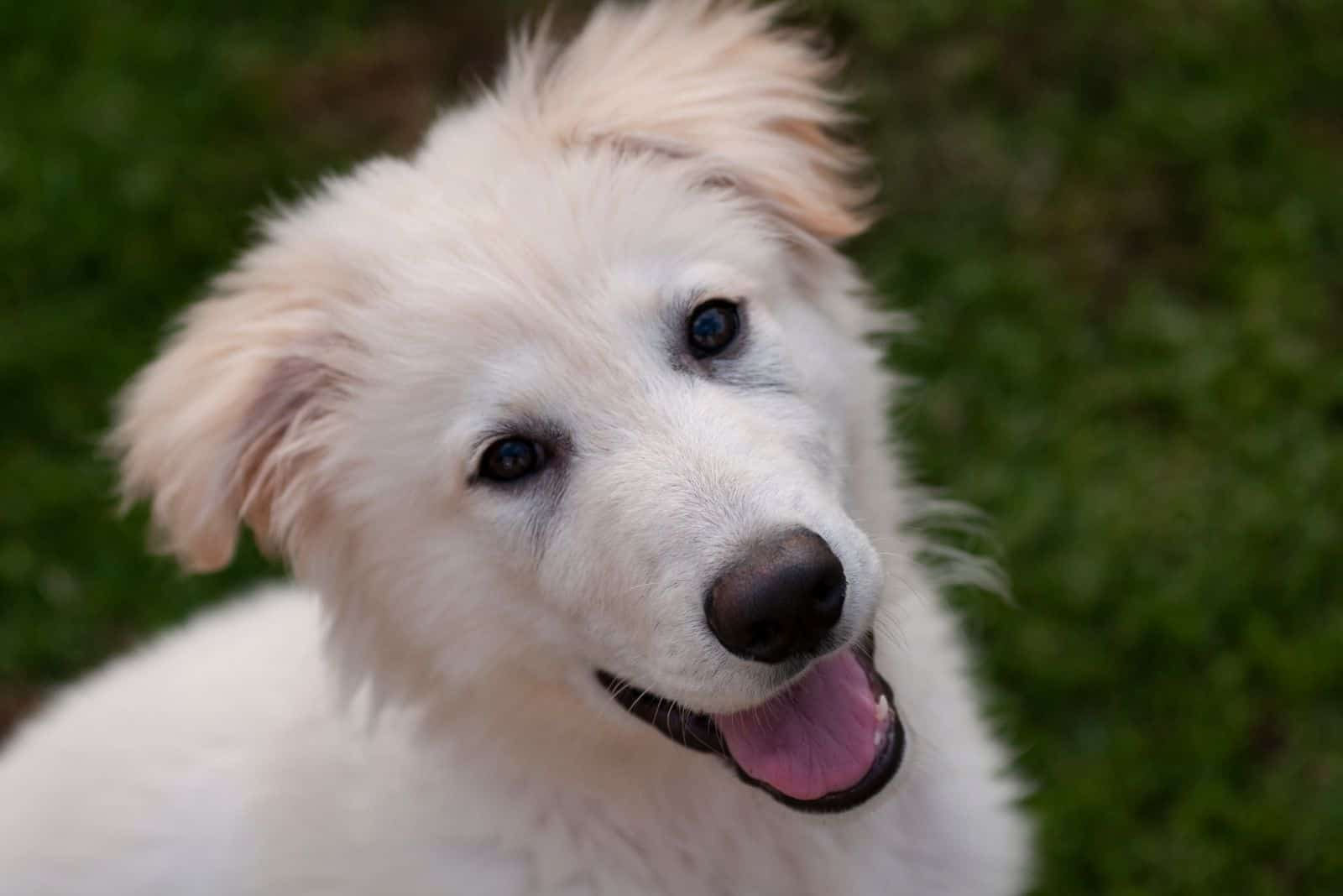 white longhaired puppy german shepherd in a close up photography