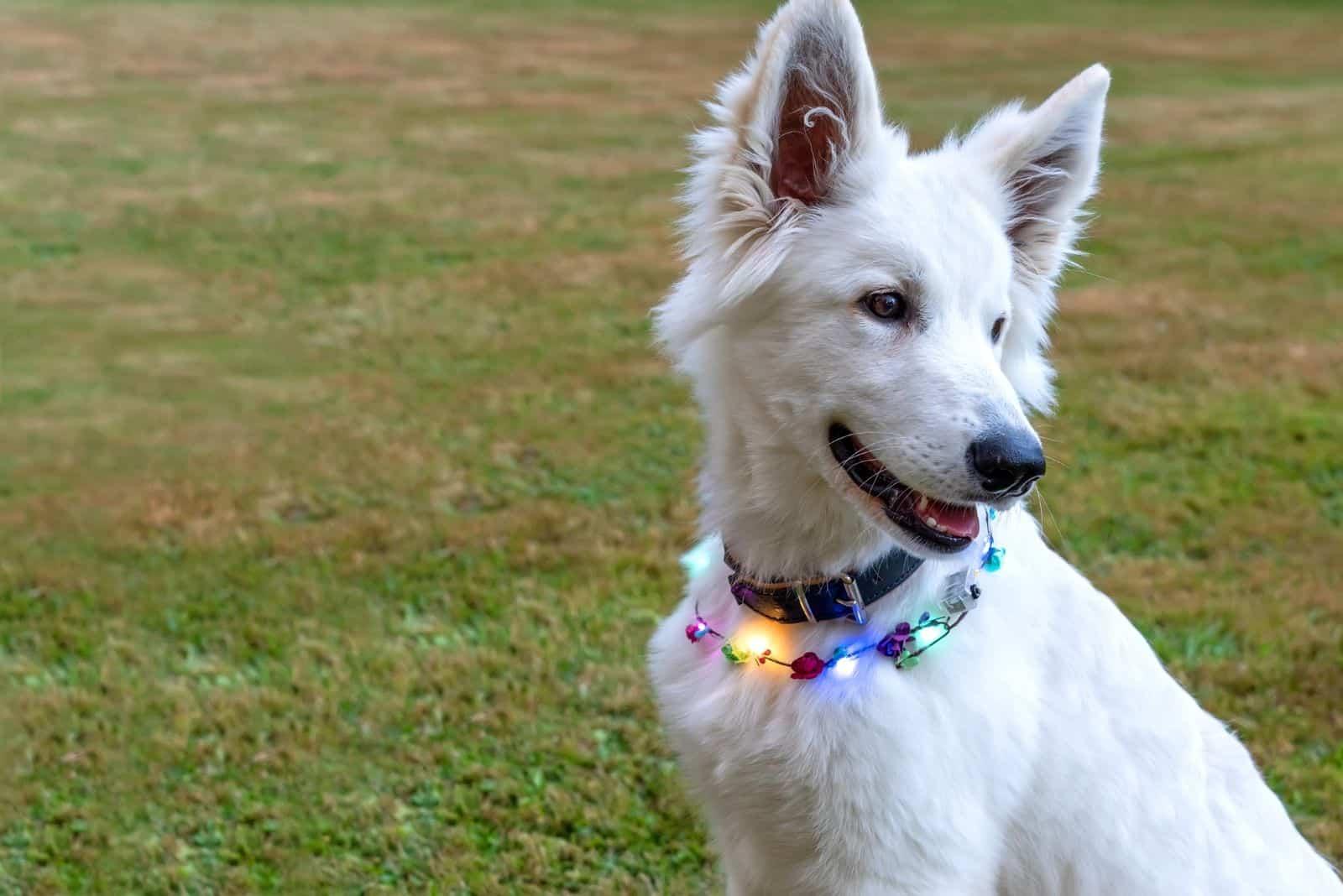 white shepherd puppy sitting with a light decor around her neck