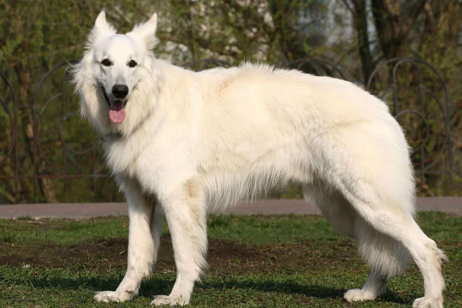 white shepherd standing in stance