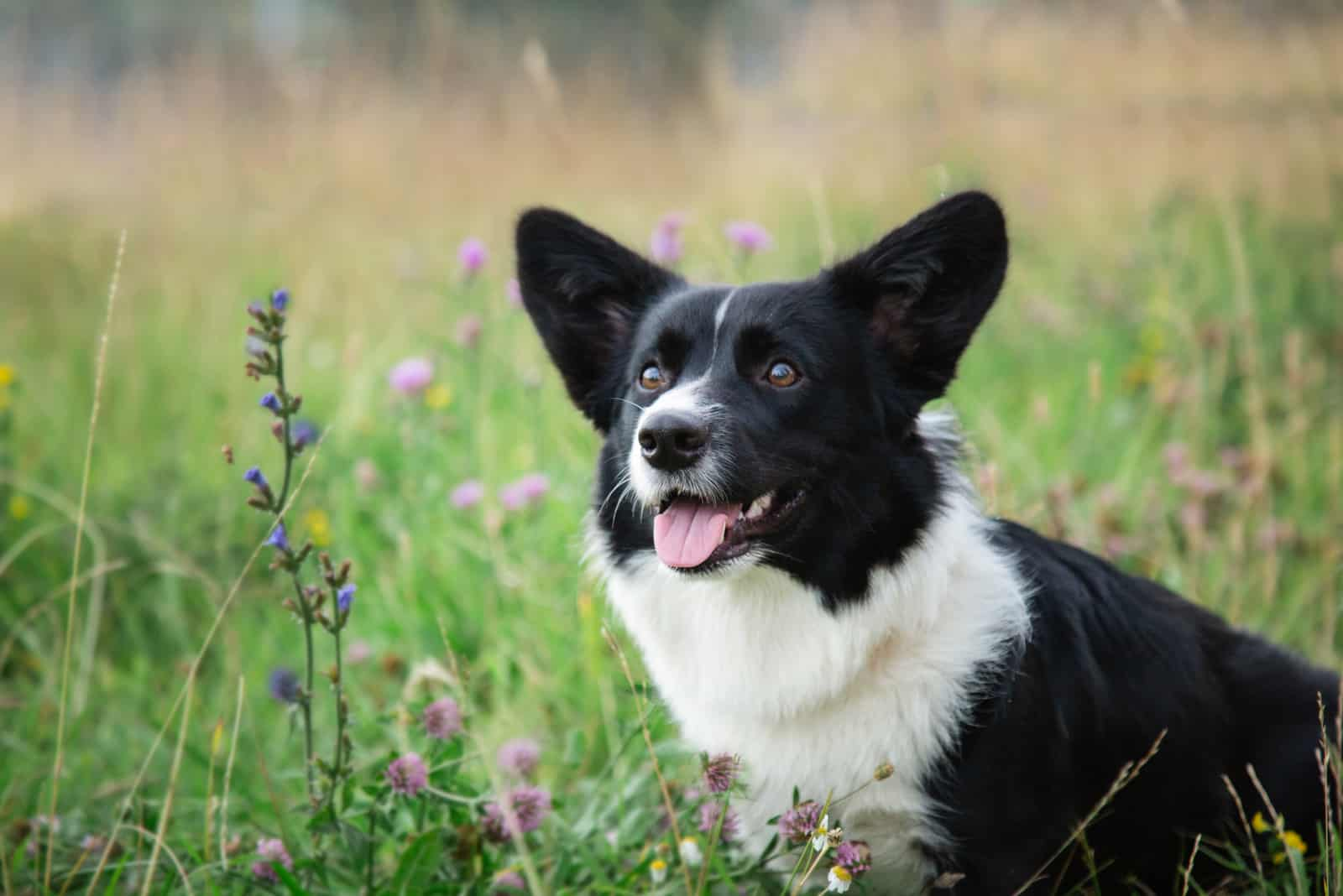 young black and white welsh corgi cardigan on the grass in flowers