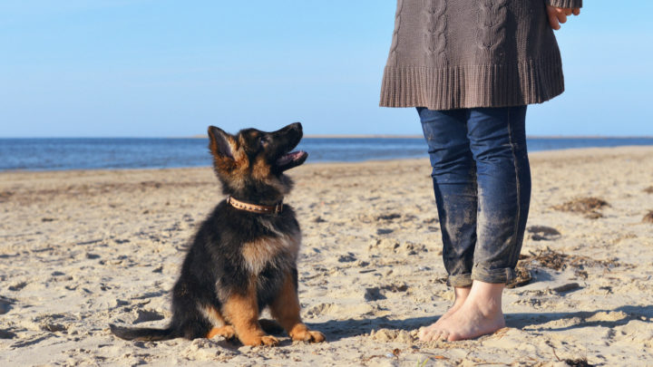 7 Best German Shepherd Breeders In California – Where To Buy GSD Puppies
