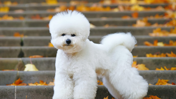 Best Bichon Frise Rescues For Adoption: Top 10 Places To Adopt