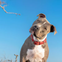 adult pitbull with red collar and blue sky as background