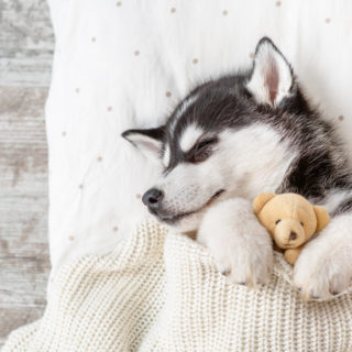 husky puppy sleeping with toy