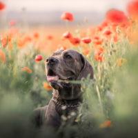 great dane in a field of poppies