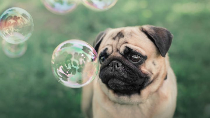 Best Pug Breeders: How To Find A Pug Breeder You Can Trust