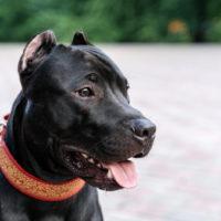 pitbull wearing a collar