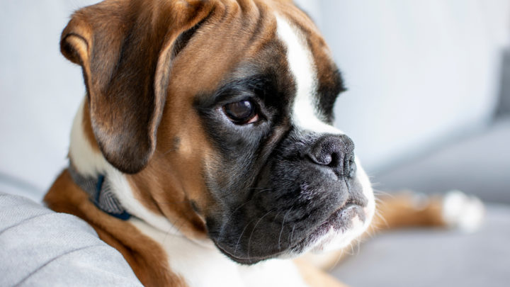 Boxer Breeders: The Best Places To Buy Your Boxer Puppies